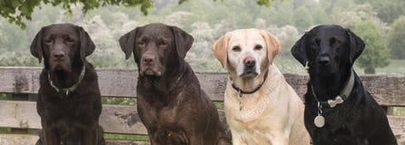 4 labradors Fotografering för Bildbyråer