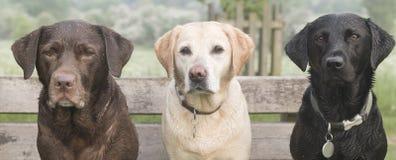 3 labradors Fotografia Stock Libera da Diritti