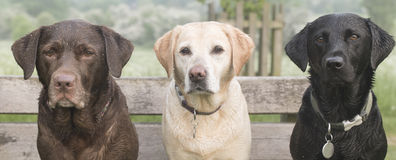 3 labradors Foto de Stock Royalty Free