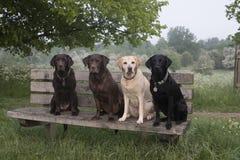 4 labradors Immagine Stock