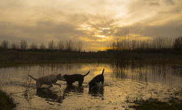 Labradors ad alba Fotografia Stock Libera da Diritti