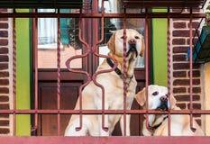 Labradors auf dem Balkon Stockfotografie