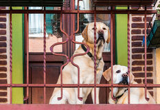 Labradors on the balcony Stock Photography