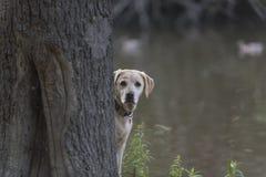 Labradors bij het meer Stock Foto