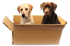 Labradors in a box Royalty Free Stock Image