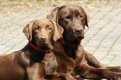 Labradors-chocolat, das in das Yard legt lizenzfreie stockfotos