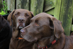 Labradors color cioccolato Fotografia Stock
