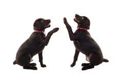 Labradors coloreado chocolate Foto de archivo libre de regalías