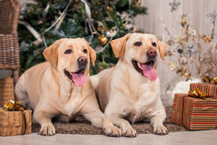Labradors Stock Images