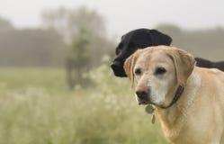 Labradors Stock Photos