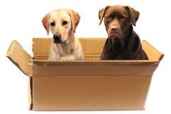 Labradors em uma caixa Imagem de Stock Royalty Free