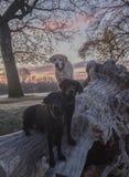 Labradors en la salida del sol Fotografía de archivo