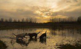 Labradors en la salida del sol Fotografía de archivo libre de regalías
