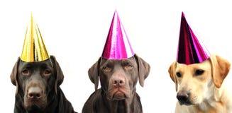 Labradors en sombrero del partido Fotografía de archivo libre de regalías
