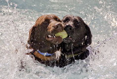 Labradors Fetching Ball. Two Labradors Competing over Fetched Ball in Water Stock Photos