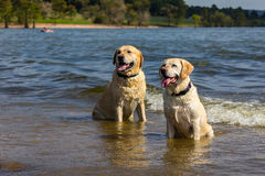 Labradors im See Lizenzfreie Stockbilder