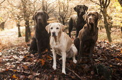 Labradors Stock Image