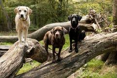 Labradors Royalty Free Stock Photo