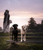Labradors Royalty Free Stock Photos
