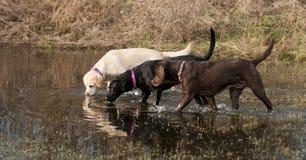 Labradors Royalty Free Stock Photography