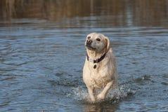 Labradors Stock Photo