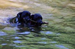 Labradors negros que juegan en un agua Imagen de archivo libre de regalías