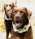 Labradors preciosos Imagen de archivo libre de regalías