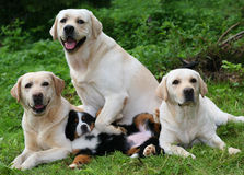 Labradors and pup. Royalty Free Stock Photo