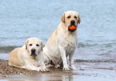 Labradors at the sea with a ball Stock Images