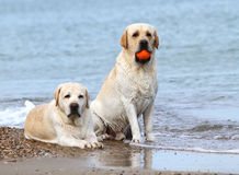 Labradors at the sea with a ball Royalty Free Stock Photo