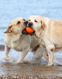 Labradors at the sea playing with a ball Royalty Free Stock Photos