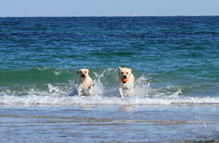 Labradors at the sea Royalty Free Stock Photography