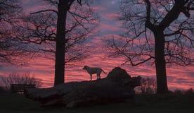 Labradors at sunrise Royalty Free Stock Photography