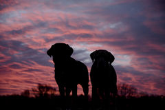 Labradors at sunrise Stock Image