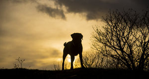 Labradors at sunrise Royalty Free Stock Photo