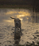 Labradors at sunrise Stock Photography