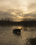 Labradors at sunrise Royalty Free Stock Images