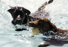 Labradors Swimming. Two Labradors Competing over Fetched Ball in Water Stock Photography