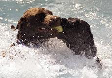 Labradors Swimming With Ball. Two Labradors Competing over Fetched Ball in Water Royalty Free Stock Photos