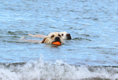 Labradors swimming in the sea with a ball Stock Photos