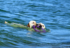 Labradors swimming in the sea with a toy Stock Photos