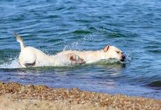 Labradors swimming in the sea Stock Image