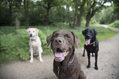 3 labradors. Three beautiful Labradors sat in a forest Stock Image