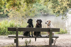 Labradors Stock Photos