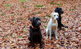 labradors tre Royaltyfria Foton