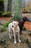 labradors två Royaltyfri Bild