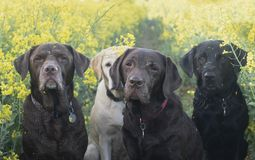 Labradors in the yellow fields Royalty Free Stock Photos