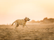 Labradorspring på stranden Fotografering för Bildbyråer