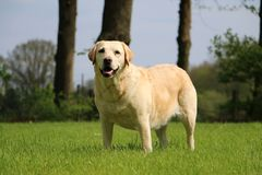 Labradorstående i trädgården royaltyfria bilder