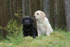 Labradorvalp i trädgård Royaltyfria Bilder